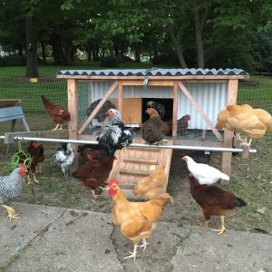 backyard chickens in Kansas City