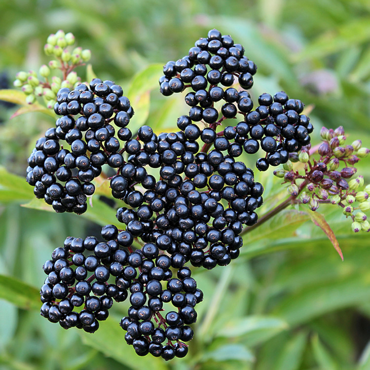 elderberry benefits for fighting cancer