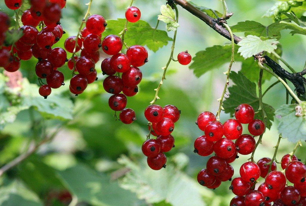 Currants in the food forest