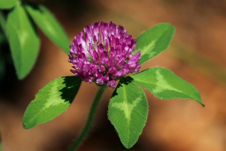 red clover ground cover