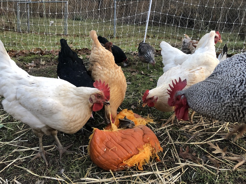 december chicken care