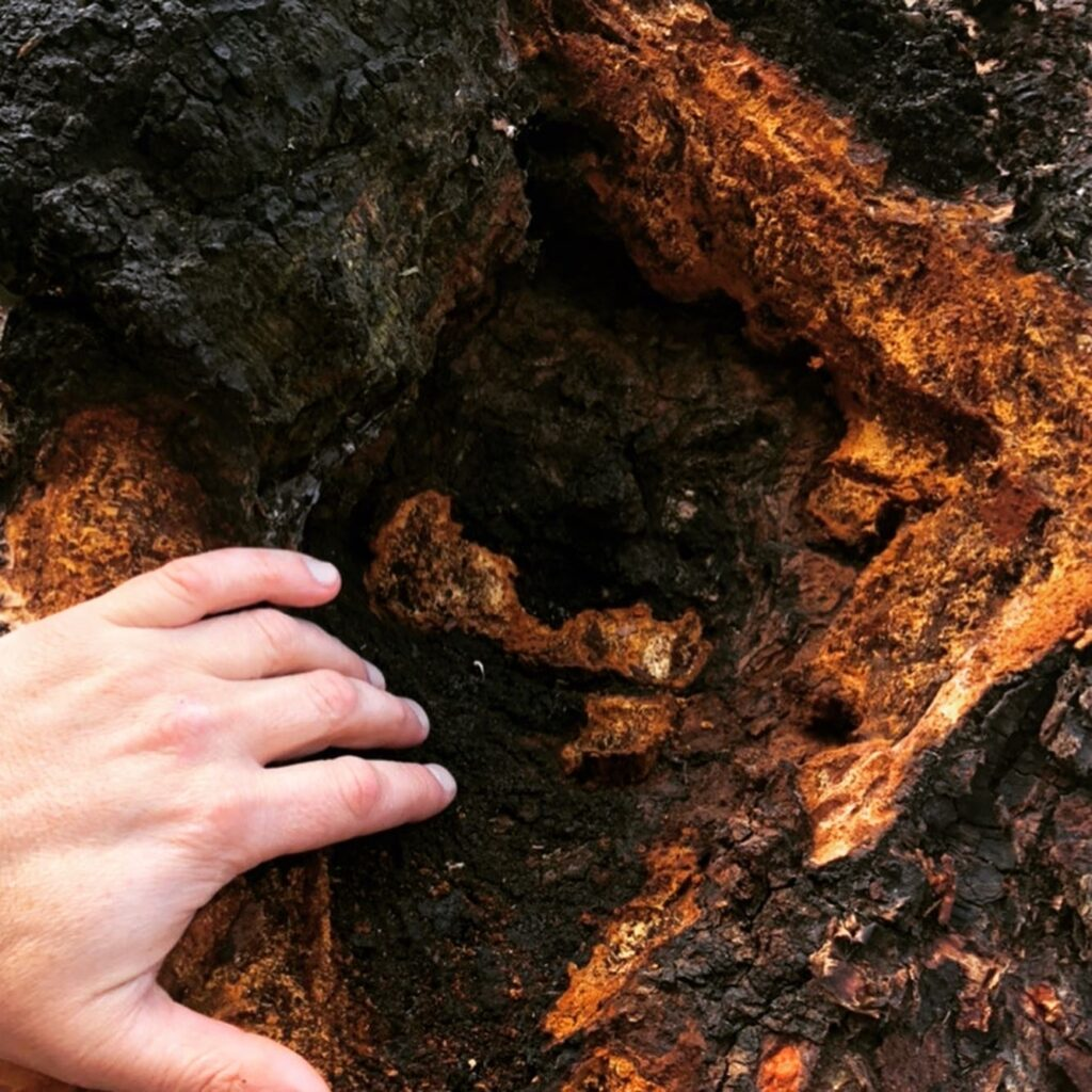 How to identify chaga