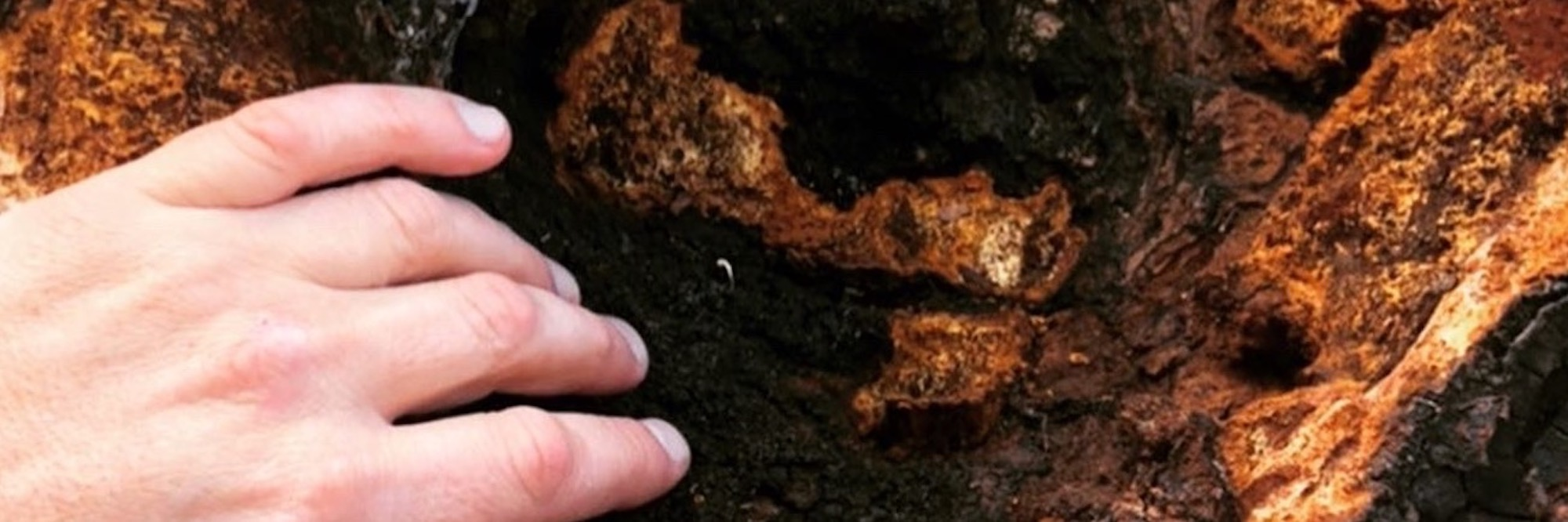 how to find and harvest chaga